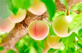 収穫量日本一のハニーローザ
